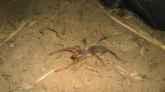 A half spider half scorpion that is entirely harmless